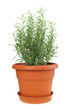 Rosemary plant in plastic pot