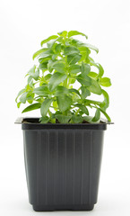 Sweet basil plant in pot isolated on white background