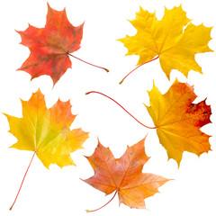 bright maple leaves