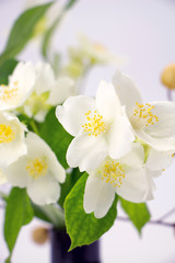 Jasmine flowers with leaves closeup