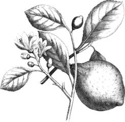 Vintage graphic lemon fruit