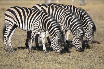 Zebras grazing grass in the african savannah