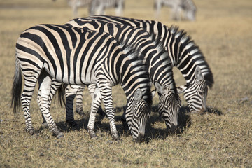 Zebras grazing grass in the african savannah