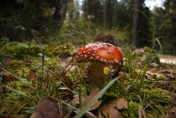 Mały muchomor w lesie