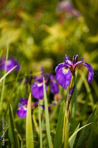 Foto op Canvas Iris Irises