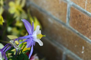 Aquilegia flowers