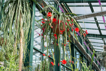 Beautiful red flowers in  greenhouse