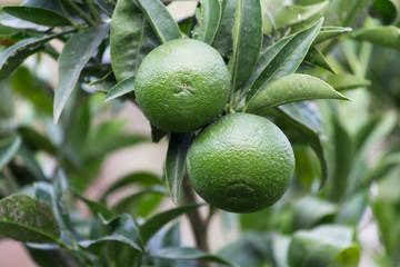 orange unripe