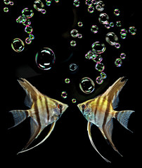 Angelfish on black background