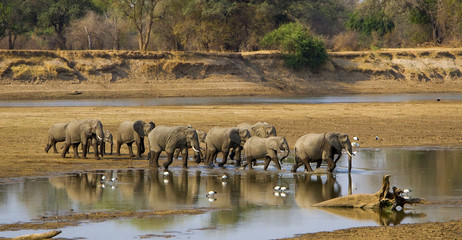Large elephant herd crossing Luangwa river in Zambia