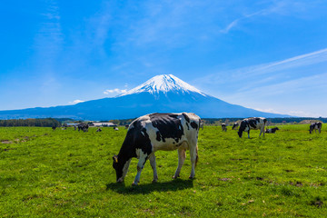 Cattle grazing in Asagirikogen to Mount Fuji views