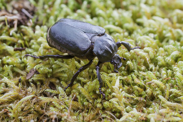 IUCN Red List specie Hermit beetle Osmoderma eremita