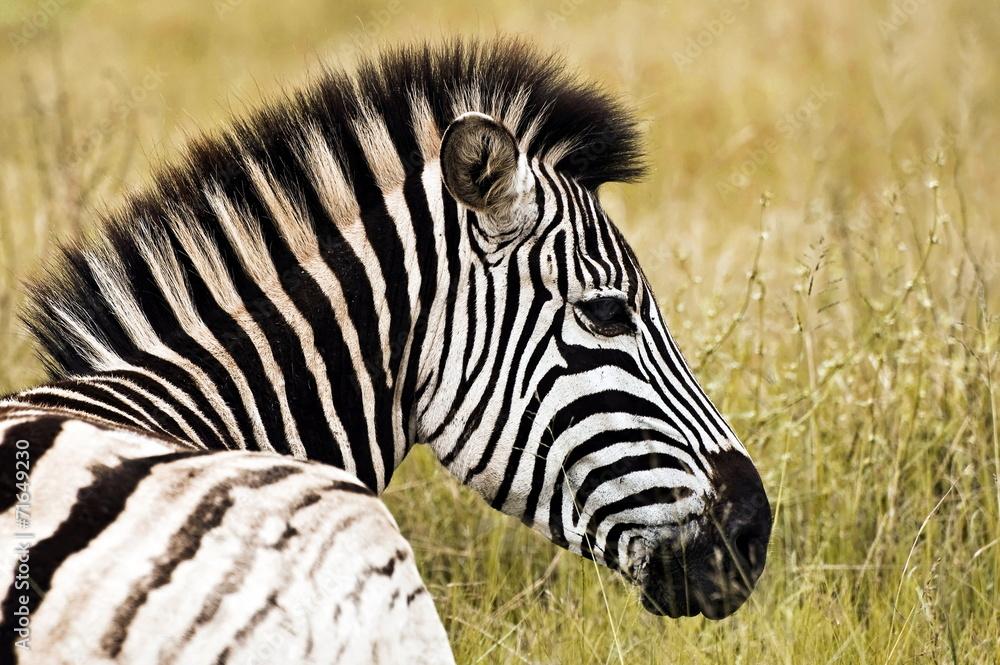 Papiers peints Zebra p...