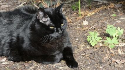 Schwarze Katze schaut
