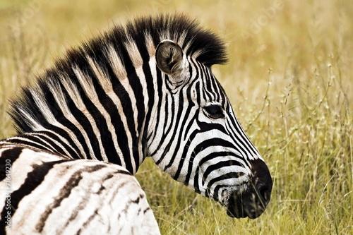 Papiers peints Zebra Zebra profile