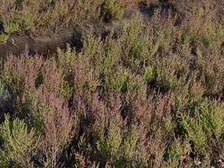 prateria di Salicornia (Salicornia europaea)