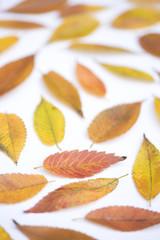 紅葉したケヤキの葉