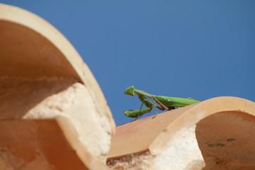 Praying mantis on a roof