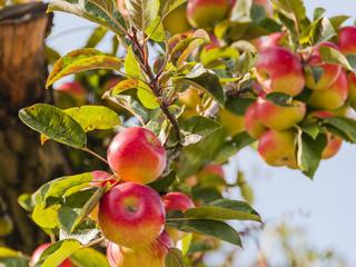 Algund, Stadt, Vinschgau, Südtirol, Apfelernte, Herbst, Italien