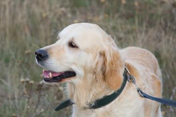 Perro Labrador retriever.