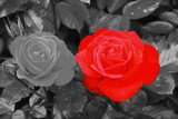 rose rouge - 71652606