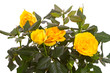 Bright yellow roses on white