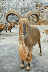 Ammotrago, Ammotragus Lervia
