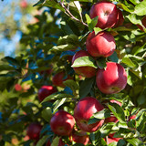 apples in the orchard - 71653628