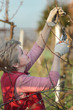 Agriculture, female farmer pruning apple tree in orchard