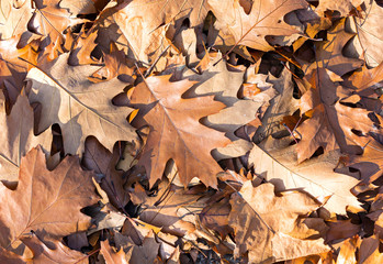 Fallen maple leaves closeup