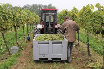 Wein - 005 - Lese - Bauer