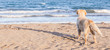 Leinwandbild Motiv The dog alone on the beach sand looking out to sea, in Thailand.