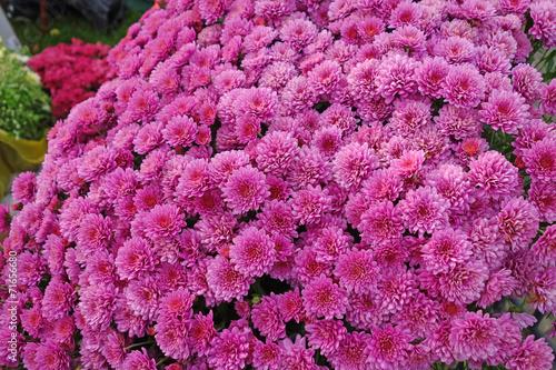 Foto op Aluminium Pansies Maroon chrysanthemum