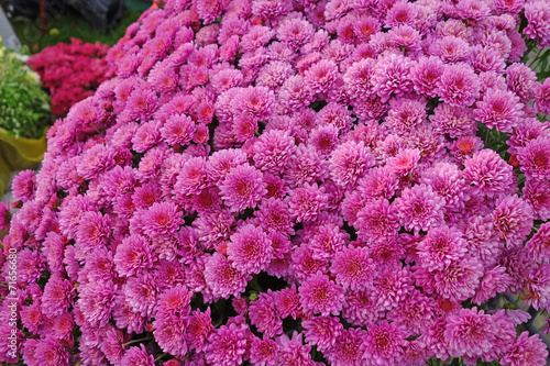 Keuken foto achterwand Pansies Maroon chrysanthemum