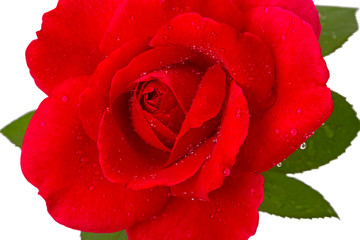 Red rose with dew drops close-up