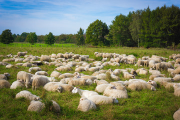 sheep on the  meadow.  Sheep graze in the meadow. Herd of sheep