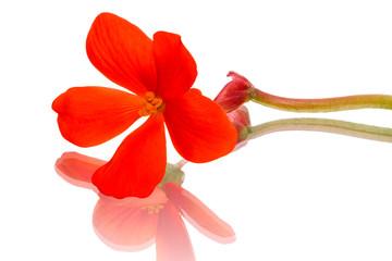 Single flower begonia