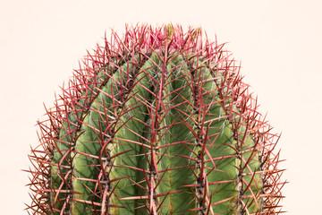 Spine Cactus specie Ferocactus