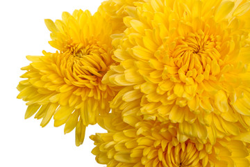 Yellow chrysanthemums close up