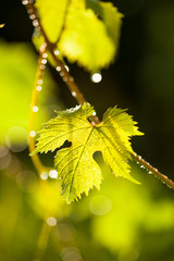 Rain drops on grape leaves