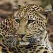 canvas print picture - Leopard