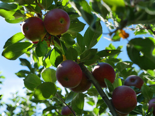 Fresh Red Apples in the Orchard