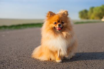 Pomeranian on the road