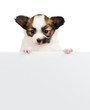 Papillon puppy relies on blank banner on white background