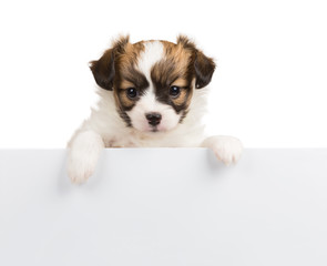 Papillon puppy on white background