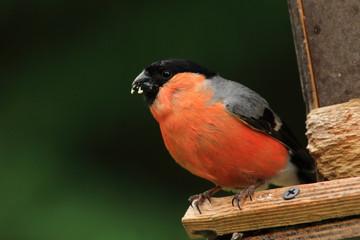 ciuffolotto uccello passeriforme foreste artiche