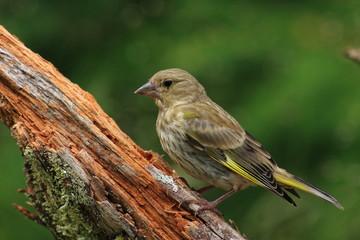 fringuello uccello passeriforme