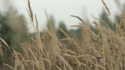 Сухая трава колышется на ветру