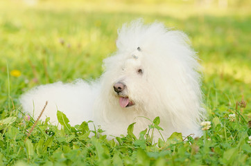 Bichon bolognese relax in the park