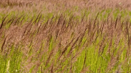 grass dancing with the wind in the steppe